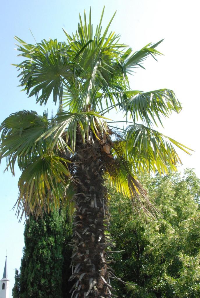 Palme im Garten vom Ottmanngut